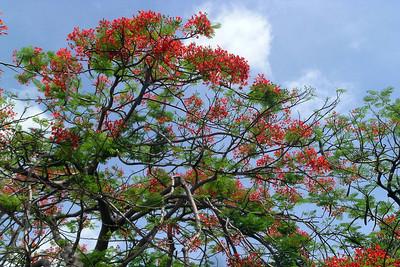 Casco Viejo - Flowering Tree 1