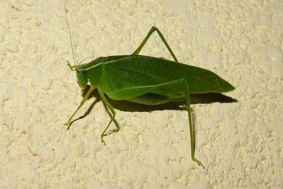 West End - Bush Cricket