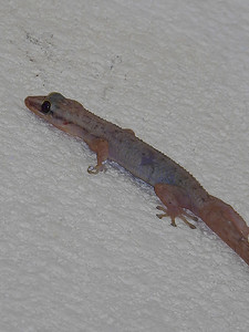 West End - Gecko
