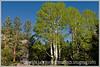 A pretty clump of aspens at Chalk Lake in Colorado