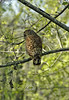 Giant Barred Owl hunting over the swamp