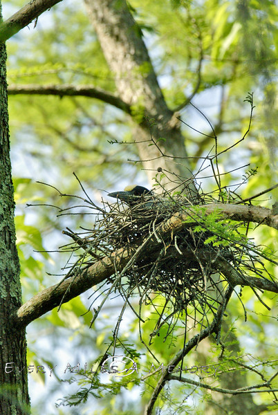 Yellow Crowned Night Herron in its nest