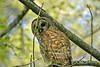Beautiful Feathers on a Giant Barred Owl