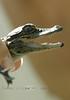 Baby Gator Teeth