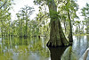 Oldest Tree in the Swamp