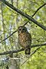 Barred Owl in the swamp
