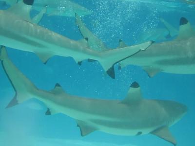 Video of the shark feeding.