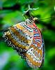 Batik Lacewing