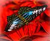 Clipper (Parthenos sylvia)