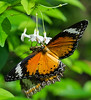 Leopard Lacewing