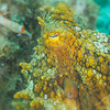 Two-Spot Octopus - Dive 1 - Five Stone Grotto