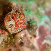 Firngehead Blenny - Dive 1 - Five Stone Grotto