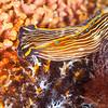 Aglaja Sea Slug - Dive 4 - Fry's Harbor