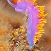 Spanish Shawl Nudibranch - Dive 4 - Fry's Harbor