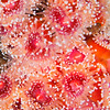 Strawberry Anemone - Dive 2 - Five Stone Grotto