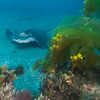 Bat Ray - Dive 7 - Cathedral Cove