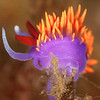 Spanish Shawl Nudibranch - Dive 4 - Fry's Harbor