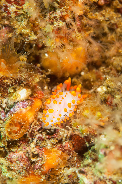Cockerel's Dorid - Dive 3 - Fry's Harbor