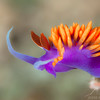 Spanish Shawl Nudibranch - Dive 3 - Fry's Harbor