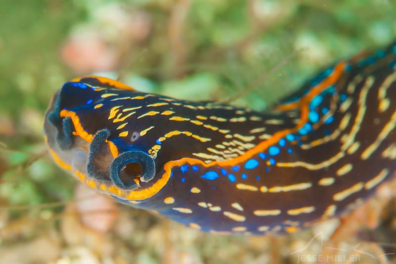 Aglaja Sea Slug - Dive 3 - Fry's Harbor