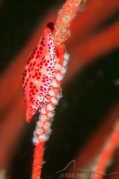 Simnia Snail - Dive 3 - Fry's Harbor