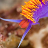 Spanish Shawl Nudibranch - Dive 9 - NW Anacapa