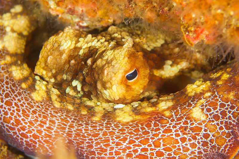 Two-Spot Octopus - Dive 4 - Fry's Harbor