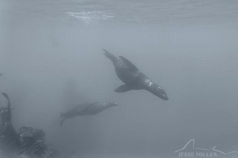 California Sea Lion - Dive 6 - Cathedral Cove