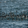 a bunch of Cormorants