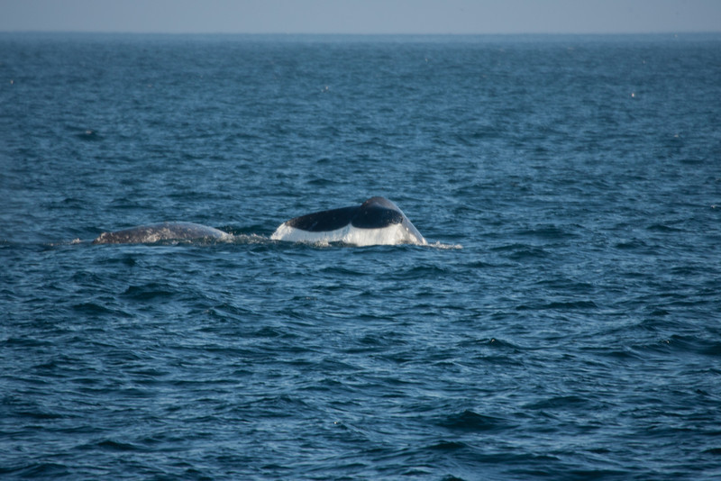 A couple of Grey Whales heading South to Baja, just East of Anacapa Island