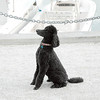 Black Standard Poodle at Charleston Harbour