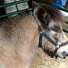 Pygmy Pony at Charleston Wildlife Festival