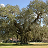 Towering Oak at Magnolia Plantation