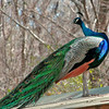 Peacock at Magnolia Plantation