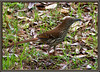 Charleston, SC - Brown Thrasher
