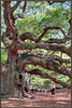Charleston, SC - Angel Oak ... a very big Live Oak Tree.