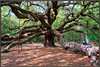 Charleston, SC - Angel Oak
