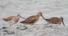 Non-breeding Hudsonian Godwits (Sandpipers)