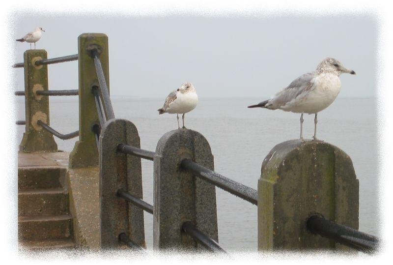 3 Sea birds in Charleston on Charleston Harbor [edgefade10 frame]