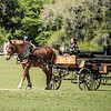 Horse drawn carriage for touring at Middleton Plantation