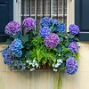 Floral window box filled with hydrangea