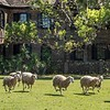 Stampede of sheep at Middleton Plantation