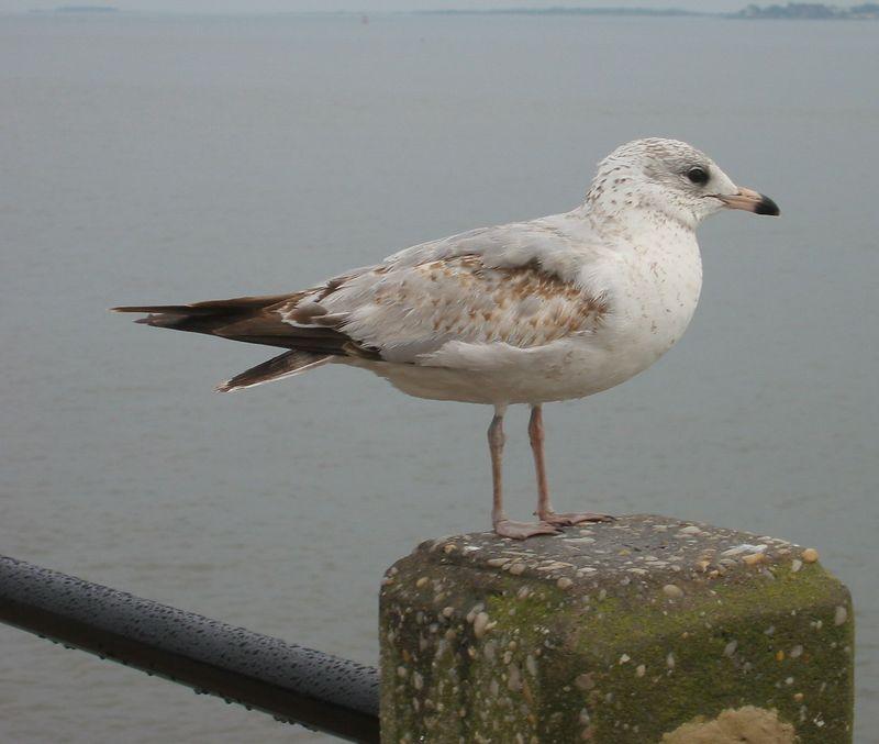 Sea bird in Charleston on Charleston Harbor