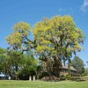 Scenic Middleton...live oaks and Spanish Moss