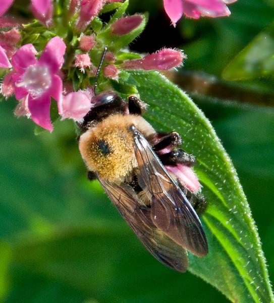 Mount Pleasant Memorial Waterfront Park - Honey Bee