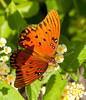 Mount Pleasant Memorial Waterfront Park - Gulf Fritillary Butterfly