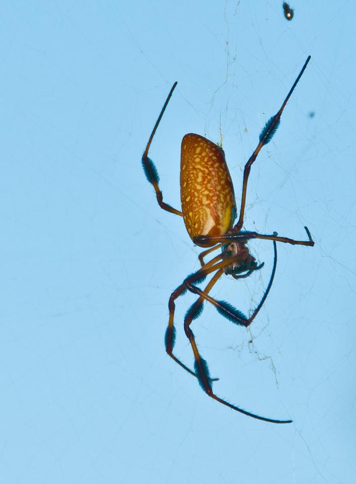 Audubon Swamp Gardens at Magnolia Plantation and Gardens - Gold Silk Spider