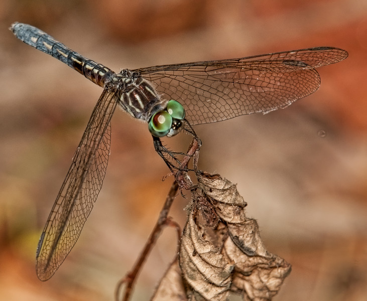 Audubon Swamp Gardens at Magnolia Plantation and Gardens - Blue Dasher Dragonfly