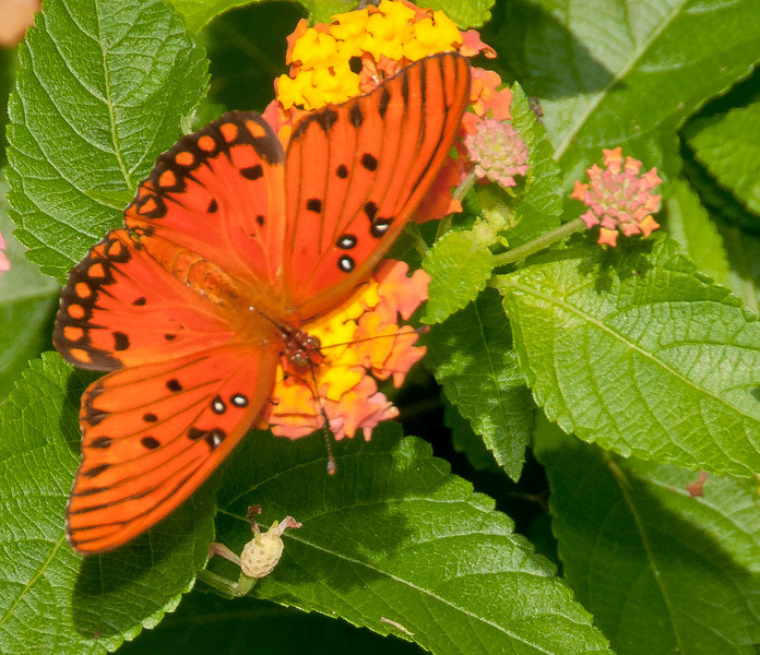 Audubon Swamp Gardens at Magnolia Plantation and Gardens - Gulf Fritillary Butterfly