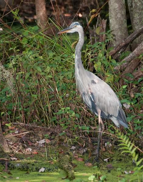 Audubon Swamp Gardens at Magnolia Plantation and Gardens - Great Blue Heron
